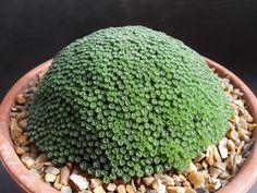 Dionysia microphylla