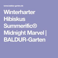 Winterharter Hibiskus Summerific® Midnight Marvel | BALDUR-Garten