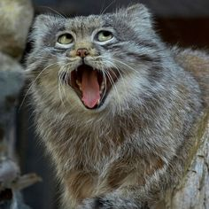 Pallas's Cats Are Charming, Puffy Maniacs
