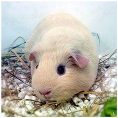 Guinea pig by jankolas.deviantart.com on @deviantART