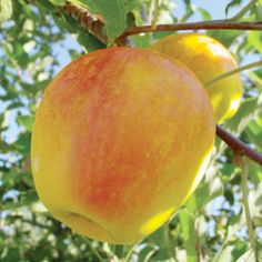 CandyCrisp® Apple — Thought to be a descendant of Red Delicious. Disease-resistant & keeps well in proper storage. Zones 4-7. Needs pollinator.