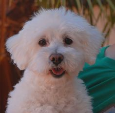 Deven is a cheerful young boy debuting for adoption today at Nevada SPCA (www.nevadaspca.org).  He is a Bichon Frise, 3 years of age, neutered, and good with other dogs.  Deven was at another shelter that asked for our help because his previous owner reported he had a seizure.  In the weeks since his rescue Deven has not shown any signs of seizure activity.  If he does need medication in the future for epilepsy, fortunately this is generally highly effective and inexpensive medication.