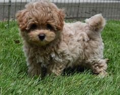 Image result for maltipoo yorkie mix
