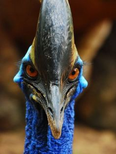 Apparently, cassowary birds can kill humans. I believe it. (It looks like something out of Jurassic Park! National Geographic, Cassowary Bird, Forest Pictures, Nature Pictures, Dangerous Animals, Flightless Bird, Australian Animals, Big Bird, Colorful Birds