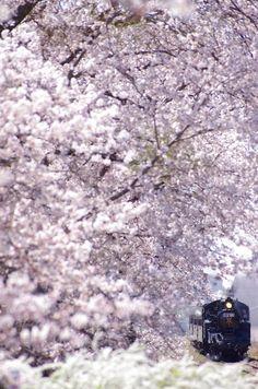 Japan Travel Inspiration - Mooka Line with cherry trees, Ibaraki, Japan Beautiful World, Beautiful Places, Foto Nature, Sakura Cherry Blossom, Cherry Blossoms, All About Japan, Ibaraki, Blossom Trees, Yokohama