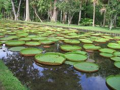 Waterlillies at Pamplemousse Gardens Mauritius