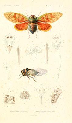 v. 6-7, pt. 2 Atlas - Le règne animal distribué d'après son organisation, - Biodiversity Heritage Library