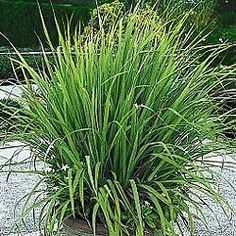 """Lemon Grass  Asian Cuisine Classic  This fast-growing 2- to 3-ft. fragrant  herb has the scent and flavor of lemons. Best when used fresh. Cut and crush the top leafy portion for tea or select the bottom part of the stalk for food flavoring. Repels mosquitoes and is deer resistant. Perennial in Zones 9-10, grow as an annual elsewhere. Potted plants.""  http://gurneys.com/product.asp_Q_pn_E_76138"