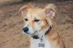 Beach dog at Anahola beach park 😍 Travel Around The World, Around The Worlds, Dog Beach, Corgi, Park, Animals, Animaux, Corgis, Parks