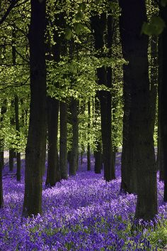 Ashridge Estate is a huge woodland expanse managed by the National Trust in the Chiltern Hills, with over 2000 acres of mature woodland to explore. In spring the woods are covered in Bluebells :)