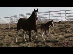 2013 Budweiser Clydesdales Super Bowl Ad - Behind The Scenes Naming a Foal (Video)