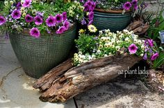 Colorful flowers planted in a log (AZPlantLady)