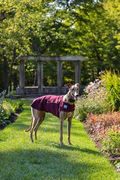 @balithegreyhound Greyhound Burgundy Tummy Warmer Dog Coat