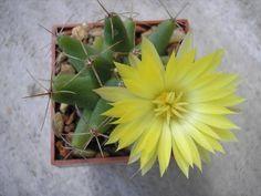 Mammillaria Longimamma.
