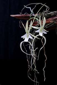 Ghost orchid-- rarest orchid in the world. Secret location. Only in Everglades <3 Florida