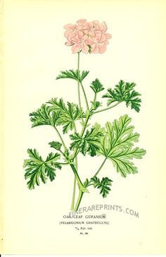 ゼラニウム Pelargonium graveolens (scented geranium), Edward Step (1896)
