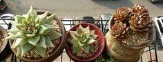 다육식물의 여름 나기는 물 주는 시기와 차광이 중요하다. 왼쪽부터 스펙스, 원종에보니, 푸미라.