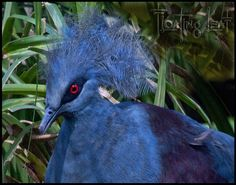 Bali Photo of the Day ~ Bali Birds ~ Victoria Crowned Pigeon http://balifloatingleaf.com/bali-bird-photo/