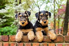 Airedale puppies~