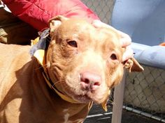 TO BE DESTROYED- 03/30/15 Manhattan Center   My name is SHAY. My Animal ID # is A1030878. I am a female brown and white pit bull mix. The shelter thinks I am about 4 YEARS old.  I came in the shelter as a STRAY on 03/21/2015 from NY 10456, owner surrender reason stated was STRAY. https://www.facebook.com/photo.php?fbid=980816585264554