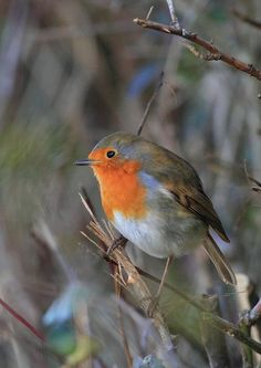 European robin by Colin Mayes