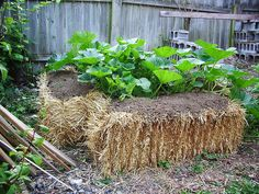 Squash plants planted on hay bales (http://www.ehow.com/how_5630442_use-straw-bales-raised-gardens.html)