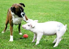 Boxer dog and a pig – funniest unlikely friends!