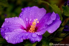 Purple Hibiscus - Queen of Tropics !! | PurpleFlower.org