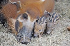 Zoo Miami is celebrating the birth of five African Red River Hogs! The three males and two females were born on February 28 and are the first of this species ever born at Zoo Miami.   See and read more at ZooBorns: http://www.zooborns.com/zooborns/2014/03/red-river-hog-miami.html#more