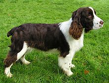 Need a family dog! Heres some reasond to choose the English or Welsh Springer Spainel