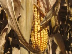 Insects Find Crack In Biotech Corn's Armor : The Salt : NPR
