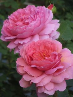 'Princess Alexandra of Kent' rose | The Teddington Gardener. Great scent with a touch of lemon and nice compact growth.