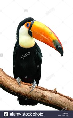 Download this stock image: Toco Toucan resting on a branch isolated on a white background - FX5J0M from Alamy's library of millions of high resolution stock photos, illustrations and vectors.