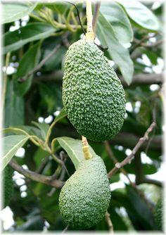 Superb Avocado Fr chte sind nicht nur gesund u lecker auch die Pflanzen sind mit ihrem