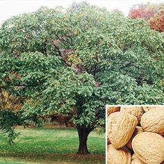 The Walnut tree or Juglans is a plant genus of the family Juglandaceae, the seeds of which are known as walnuts. Description from pixgood.com. I searched for this on bing.com/images