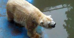 La salud del geronte oso polar del zoo se deterioró y los veterinarios creen que no vivirá mucho más.