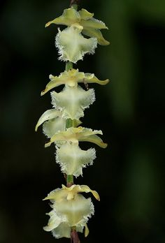 Diaphananthe pellucida - Botany Photo of the Day Ways To Show Love, Orchidaceae, Wild Orchid, Plant Pictures, Black Flowers, My Secret Garden, Blooming Flowers, All Plants, West Africa