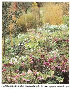 Hellebores - from Country Life magazine 29 February 2012