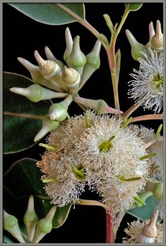 Swamp Mahogany, Swamp Messmate (Eucalyptus robusta) A tree native to eastern Australia. Up to 30 m high. The white to cream flowers appear in autumn and winter. Australian Wildflowers, Australian Native Flowers, Australian Plants, Australian Garden, Australian Animals, Eucalyptus Robusta, Eucalyptus Tree, Trees And Shrubs, Flowering Trees