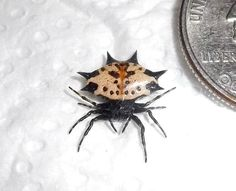 Spiny Crab Orb Weaver (Gasteracantha cancriformis)