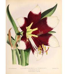Amaryllis Hendersonii - The floral magazine Dombrain H 1861