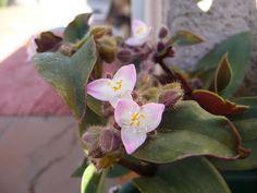 Tradescantia cerinthoides (de hojas gruesas como la blushing)
