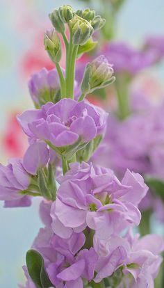 Purple stock gillyflower - prachtige lavendelblauwe en geurende violier…