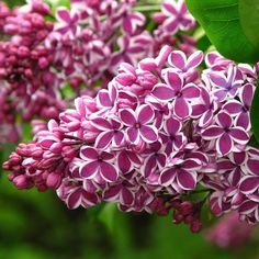 Syringa vulgaris Sensation - Fragrant Picotee Lilac Individual flowers are single and coloured a rich, wine purple-red with a distinct white picotee edge for an overall silvery appearance. Lilac Tree, Plants, Flowering Shrubs, Beautiful Flowers, Fragrant Flowers, Flowers, Syringa Vulgaris, Garden Plants, Lilac Gardening