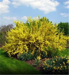 Forsythia - Forsythia x intermedia, Blooms early spring, zone 5-8, Tree H 8-10' W 10-12' OR  hedge of 4' X 6', fast growth, any soil, year around interest.