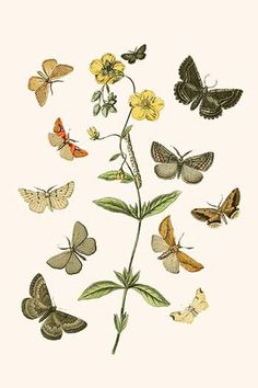 European Butterflies & Moths