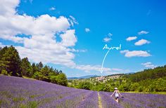 Aurel, Vaucluse #lavande