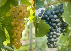 Two new grape varieties named, Aromella and Arandell.