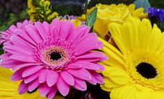 https://flic.kr/p/nD16h1 | SAMSUNG GALAXY S5 - Gerbera pink and yellow. #GalaxyS5. Selective DOF by tapping | ISO 40, 1 / 200. Flickriver: Most interesting photos tagged with Samsung Galaxy S5