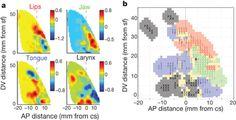 functional organization of human sensorimotor cortex for speech articulation